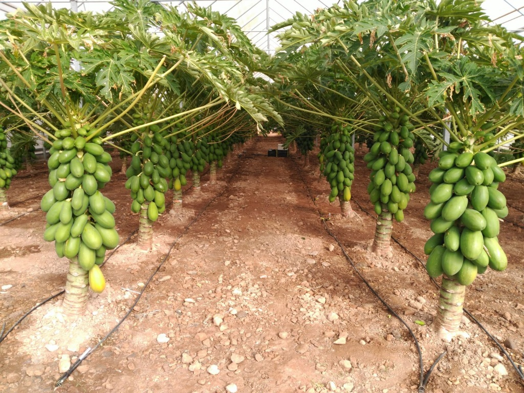 growing papaya on greenhouse almeria spain