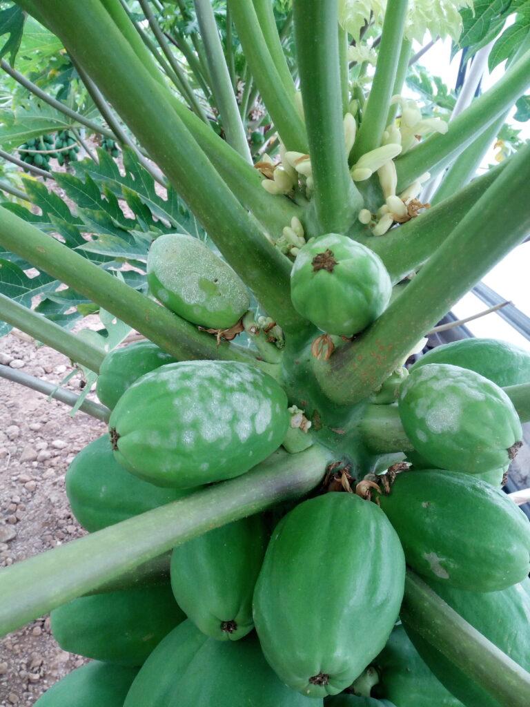 VI International Symposium on Papaya