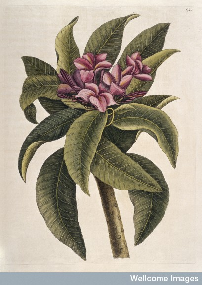 L0035349 Flower and leaves of the Plumeria tree, America, 1731 Credit: Wellcome Library, London. Wellcome Images images@wellcome.ac.uk http://wellcomeimages.org Illustration showing flower and leaves of the Plumeria flore rofeo odoratissimo tree, a species of Nerium which was first introduced from the American continent to Barbados and other sugar islands. The flowers are tubulous and divided into five segments; they are of a rose colour and very fragrant. Printed Reproduction The natural history of Carolina, Florida and the Bahama Islands ... Mark Catesby Published: 1731-1743 Copyrighted work available under Creative Commons Attribution only licence CC BY 4.0 http://creativecommons.org/licenses/by/4.0/
